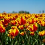 Tulpenveld Herkingen