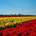 tulpenvelden Zuid-Holland  mei 2019